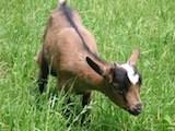 Il noleggio di capre