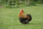 Noleggio di galline