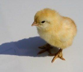 Noleggia un pollo