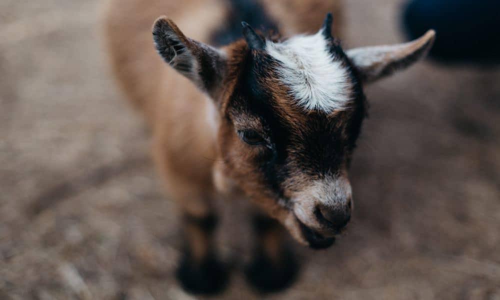 Il modello di business del noleggio di capre